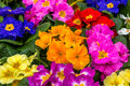 Primroses after rain center focus on central flowers of a very colorful display of Stock Photography