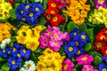 Primroses after rain center focus on central flowers of a very colorful display of Royalty Free Stock Image