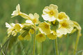 Primroses in spring Royalty Free Stock Photography