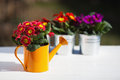 Primroses watering can flower pots Stock Photo