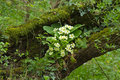 Primroses in woodland common growing on fallen tree english Royalty Free Stock Photography