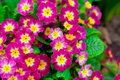 Primula Royalty Free Stock Photos