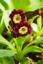 Primula auricula purple primrose in the garden Royalty Free Stock Photography