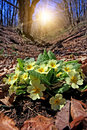 Primula bush in forest Royalty Free Stock Photo