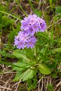 Primula cold primula algida is on subalpine meadow Stock Image
