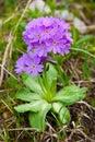Primula cold primula algida is on subalpine meadow Royalty Free Stock Photography