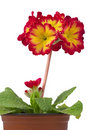 Primula in flower pot Stock Photography