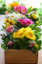 Primula in flower pot fresh colorful wooden Stock Images