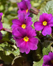 Primula flower small in the garden Royalty Free Stock Photo