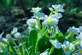 Primula flowers botanic gardening plant nature image primrose oxlip closeup among green plants over blurred background can be used Royalty Free Stock Images