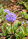 Primula flowers in the garden in spring Stock Photography