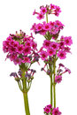Primula japonica spring flower isolated on white isolated with clipping path dff image Stock Photography