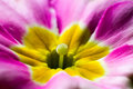Primula macro view of a flower Royalty Free Stock Photography