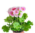Primula obconica touch me, pink with white flowers, green leaves Royalty Free Stock Photo