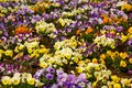 Primula photo of colorful blooms abstract background Royalty Free Stock Images
