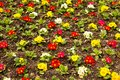 Primula photo of colorful in flower bed abstract Stock Image