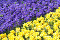 Primula purple and yellow flowers of floral background Stock Photos
