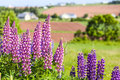Prince edward island lupins growing wild and flowering along the roadsides and streams or rural canada Stock Images