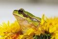 Prince frog in dandelion flower