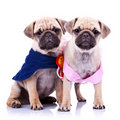 Princess and champion pug puppy dogs Royalty Free Stock Photo