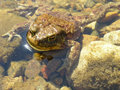 Princess frog in shallow water basking in the sun on the banks of the river ressa Stock Photo