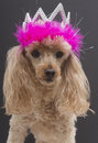 Princess pooch a poodle in a tiara with feathers isolated on a gray background Royalty Free Stock Image