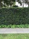 Privet planting hedges shrub provige privacy Stock Images