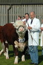 Prized bull a hereford on show at an agricultural show in the uk Stock Image