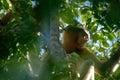 Proboscis Monkey Royalty Free Stock Images