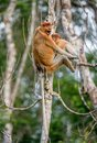 Proboscis monkey baby sucks its mother`s breast milk Royalty Free Stock Photo