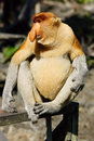 Proboscis monkey close up of in malaysia Stock Photos