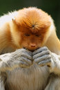 Proboscis monkey close up of in malaysia Stock Photography