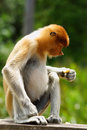 Proboscis monkey close up of in malaysia Stock Image