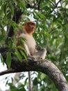 Proboscis monkey endangered Stock Photos