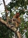 Proboscis monkey endangered in borneo Stock Photos