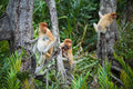 Proboscis monkey family a group of monkeys on the trees Royalty Free Stock Image