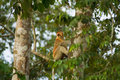 Proboscis Monkey Natural Habitat Tree Royalty Free Stock Images