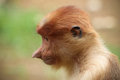 Proboscis monkey profile of a young Royalty Free Stock Photo