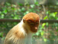 Proboscis monkey single female borneo Royalty Free Stock Photography