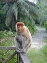 Proboscis monkey this is single from malasia Stock Image