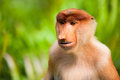 Proboscis monkey young male in a wild on borneo island in malaysia Royalty Free Stock Image