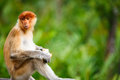 Proboscis monkey young male in a wild on borneo island in malaysia Stock Photography