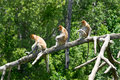 Proboscis monkeys Stock Image