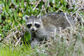 Procyon lotor, raccoon Stock Photo