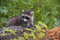 Procyon lotor Raccoon in mountains Royalty Free Stock Image