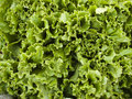 Produce - organic lettuce background Stock Photo