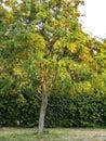 Productive tree of rowan. Clusters of orange berries of rowan tree in garden city Royalty Free Stock Photo