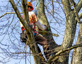 Professional High in Tree Removing Limbs Royalty Free Stock Photo