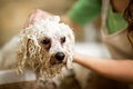 Professional hygiene on pet in salon Stock Image