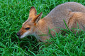 Profil de Wallaby- d'un Wallaby de Whiptail Image libre de droits